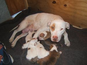 AddorablePitBullpuppies
