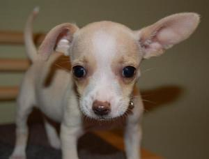 AdorableChihuahuaPuppyforfreeadoption