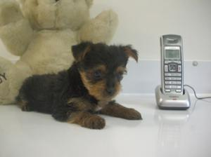 TinyYorkiePuppyforfreeadoption