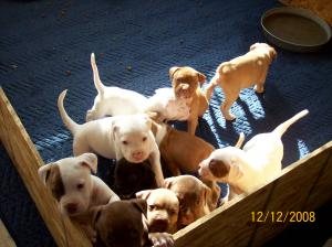 PitbullPuppiesforchristmas
