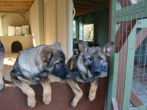 AKCGermanShepherdPups