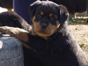 AKCGermanRottweilersAvailable