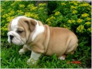 gorgouseenglishbulldogpuppy