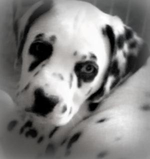 DalmatianPuppiesReady