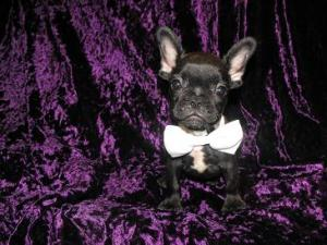 FrenchBulldogMale