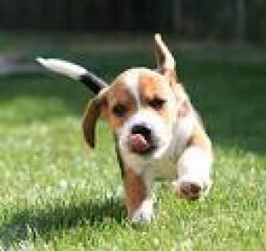 i really want a beagle puppy