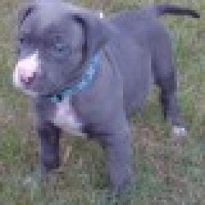 NkcAdorablePitbullTerrierPuppyForFree