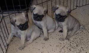 AKCPugpuppies