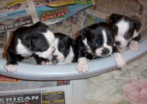 AKCBostonTerriersPuppies