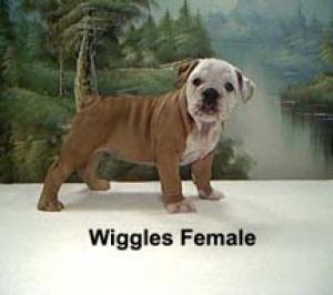 RegisteredEnglishBulldogPuppiesForSale