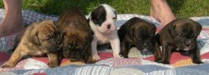 OldeEnglishBulldoggePuppiesReadyOct