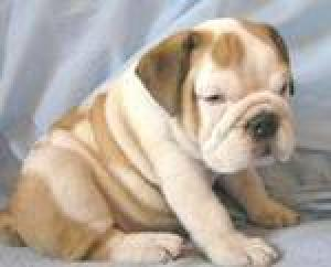 CuteandlovelyEnglishbulldogpuppiesforsale
