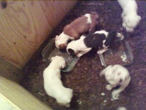 AmericanBulldogPuppies