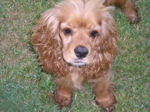 CockerSpanielpuppiesforsale