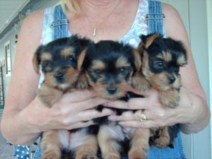 Two Female Yorkie Puppies