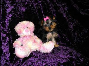 Toy Yorkie Female $850.00