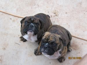 RareweekoldEnglishBulldogpuppies