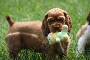 AKCCockerSpanielPuppies