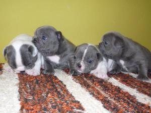 BlueFrenchbullypuppies