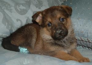 AKC German Shepherd Puppies -Champion