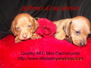 AKCMiniatureDachshundsPuppies