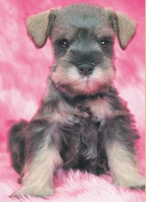 TeacupandToySchnauzerPuppies