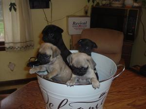 PugPuppies