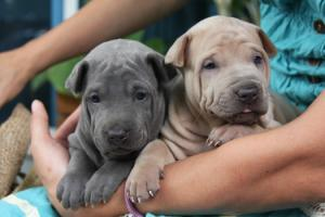 ThaiRidgebackpuppies