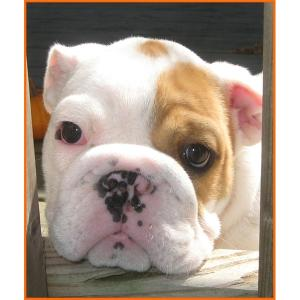 AKCchampionsiredEnglishBulldogfemalepuppy