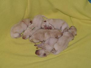 YellowLabradorPuppiesForSale---AKCOFA
