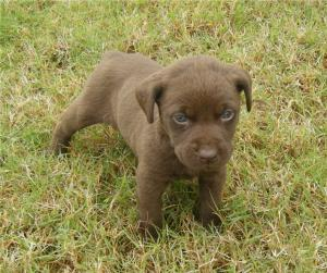 ChocolatelabChesapeakeBayRetrieverPuppies