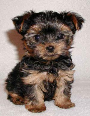 lovelyyorkiepuppiesforfreeadoption