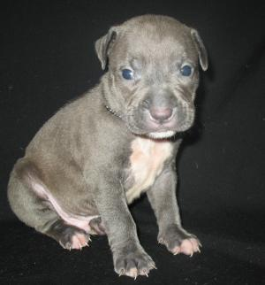 BLUEADBAREGAMERICANPITBULLPUPPIES