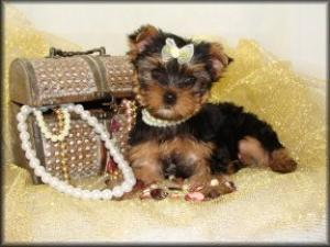 whatalovelyfemaleyorkiepuppy