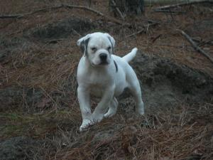 JohnsonAmericanBulldogPuppies