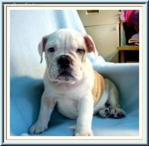 AKCXMASENGLISHBULLDOGPUPPY