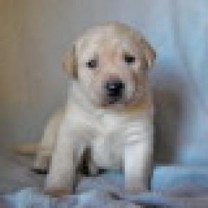 Labrador Retriever Puppy For Free