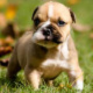 Adorable English Bulldog Puppy For Free