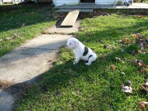UKCRegisteredAmericanBullDogPuppy-Female