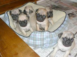 Pug Puppies for Christmas!!
