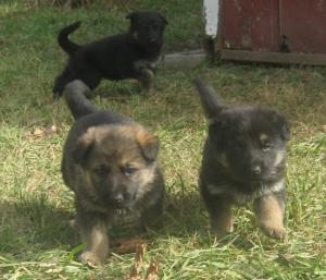 gsdgermanshepherdpups