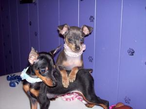 MiniaturePinscherPuppiesMinPin