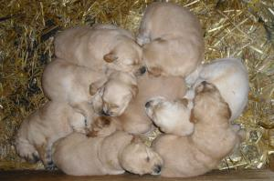 GoldenRetrieverPuppies-readyChristmasEve