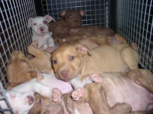 PureBredRedNosePitBullPuppies