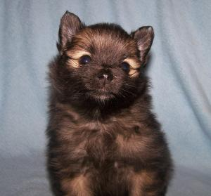 AKCREGISTEREDPOMERANIANPUPPIES