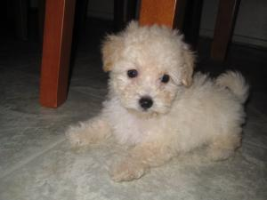 Cute Maltipoo 10week $750 (o.b.o)