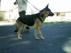 German Shepard puppy (4 month old Female)