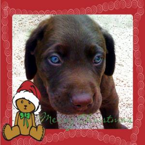 ChocolateLabPuppiesJustinTimeforChristmas