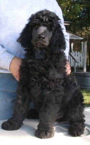 Standard Poodle Female puppie