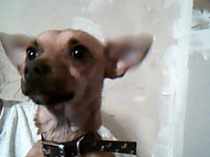 male chihuahua wants a home for christmas